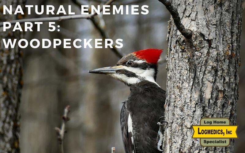 Log cabin enemies woodpeckers